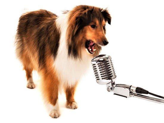 pies szczekajacy do mikrofonu